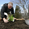 Essex: Owner Joe Ahearn plants raspberry bushes behind Down River Ice Cream Thursday morning.  Mary Muckenhoupt/Gloucester Daily Times
