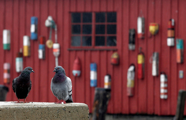 Rockport: Two pigeons stand at the end of T Wharf in Rockport. Photo by Kate Glass/Gloucester Daily Times Tuesday, April 21, 2009