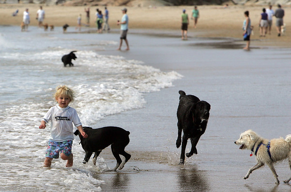Manchester: Connor Burke, 3, of Essex, runs in and out of the water with plenty of dogs to keep him company at Singing Beach Sunday morning.  Dogs are still allowed on the beach but only until May 1st.  Mary Muckenhoupt/Gloucester Daily Times