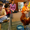 Manchester: William Pollock, 7, Mark Pollock, 4, and Max Vinciguerra, 6, get up close with a rooster during a Chickens to Eggs program at the Manchester Public Library yesterday morning. Kids got to see a rooster, chicken, and a variety of bird eggs during the program, which was put on by the Mass Audubon Society. Photo by Kate Glass/Gloucester Daily Times Wednesday, April 22, 2009