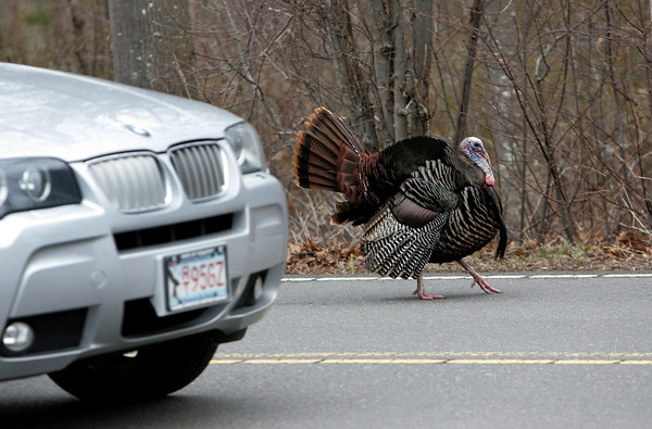 Rockport: A turkey struts along South Street causing many motorist to stop  as the turkey meandered in and out of the road Saturday afternoon. Mary Muckenhoupt/Gloucester Daily Times