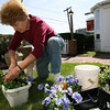 "Rockport: Lillian Welcome plants pansies around the entrance to the Peg Leg Inn, which opens for the season this weekend. ""All the colors are so vibrant this time of year,"" Welcome says. Photo by Kate Glass/Gloucester Daily Times"