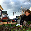 Gloucester: Lara Lepionka tends to her organic garden and picks fresh mizuna and arugala to have with dinner at her Beacon Street home Friday evening.  Mary Muckenhoupt/Gloucester Daily Times