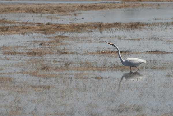 Essex: A Great Egret walks through the marsh off Island Road. Photo by Kate Glass/Gloucester Daily Times