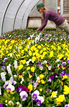 Gloucester: Danielle Pagnotti arranges some pansies in the geranium greenhouse at Goose Cove Gardens in Gloucester Thursday afternoon.  The gardeners at Goose Cove Gardens are getting ready for their opening day Saturday by bringing out whatever has color and can withstand the elements. Goose Cove Gardens is an organic garden center and most of what they grow is started from seed.  Mary Muckenhoupt/Gloucester Daily Times