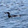 ALLEGRA BOVERMAN/Staff photographer. Gloucester Daily Times. Gloucester: A cormorant captures and eats a fish in the  vicinity of the city wharf at the  1-4, C-2 site on Monday morning.