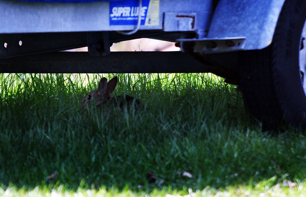 A rabbit hides under a boat trailer at Conomo Point in Essex on Friday morning. Jesse Poole/Gloucester Daily Times April 13, 2012