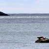 ALLEGRA BOVERMAN/Staff photo. Gloucester Daily Times. Gloucester: A harbor seal and its pup sun themselves near Stage Fort Park on  Friday morning.