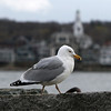 ALLEGRA BOVERMAN/Staff photo. Gloucester Daily Times. Rockport: A gull patrols on the Old Granite Pier in Rockport on Thursday afternoon.