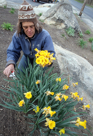 ALLEGRA BOVERMAN/Staff photo. Gloucester Daily Times. Gloucester: Mary Mintz, a fine organic gardener of Rockport deadheads daffodils and does other gardening work at one of her clients, Sears, of Gloucester, on Wednesday afternoon. She specializes in organic gardening, landscaping and cultivating and planting native plants.