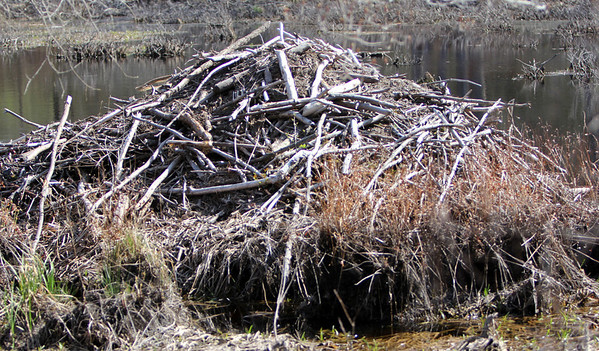 ALLEGRA BOVERMAN/Staff photographer. Gloucester Daily Times. Gloucester: A beaver dam along Quarry Avenue in Lanesville. The water level is so low in this wetland that the beavers' entrance, usually underwater, is visible.