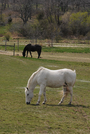 Essex: Two horses, one black and one white like knights on a chess board graze along Rt 133 in Essex Wednesday. Jim Vaiknoras/staff photo