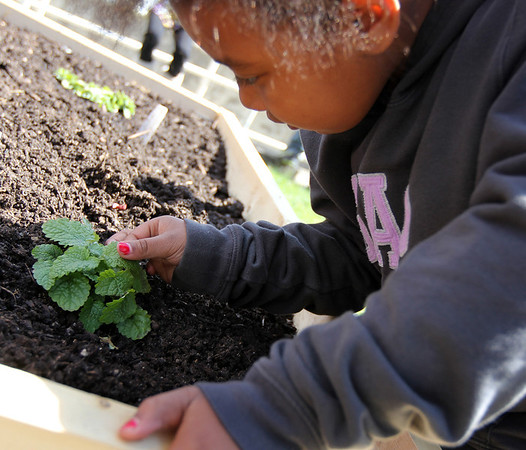 ALLEGRA BOVERMAN/Staff photo. Gloucester Daily Times. Gloucester: Veterans Memorial Elementary School first grader Chantel Avila feels and smells lemon balm growing in the herb garden section of the school's vegetable garden. There is also mint, oregano and other herbs growing there.