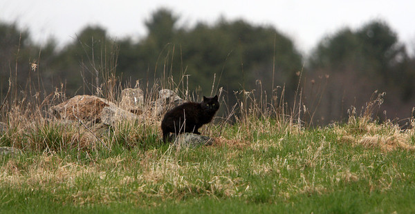 ALLEGRA BOVERMAN/Staff photo. Gloucester Daily Times. Essex: A cat perches on a rock as it hunts in a meadow along John Wise Avenue in Essex on Thursday.