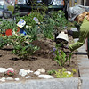 ALLEGRA BOVERMAN/Staff photographer. Gloucester Daily Times. Gloucester: Patti Amaral of Clean City Initiative, plants perennials mostly paid for by Gloucester Civic & Garden Council, in a spot at the corner of Main and Duncan Streets on Monday.