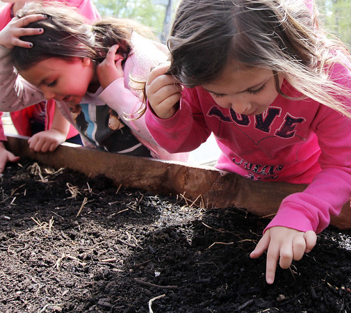 ALLEGRA BOVERMAN/Staff photo. Gloucester Daily Times. Gloucester: First graders at Veterans Memorial Elementary School were planting yellow beet seeds and dissecting and studying beans and seeds on Friday afternoon at the school. Planting seeds from left are: Emaliese Peralta an Daniela Aiello.