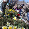 ALLEGRA BOVERMAN/Staff photo. Gloucester Daily Times. Rockport: The Rockport Garden Club's Daffodil Project is already blooming around Rockport. The club's members are currently fertilizing the flowers at the 15 sites around town because the bulbs bloomed so early that they didn't fully ripen, according to Peggy Coonley, the chair of the Daffodil Project, which is now in its third year, and second year of the bulbs' blooming. Each spot around town contains five kinds of daffodils. The group has a grant to plant the bulbs and they are planting between 2,500-3,000 per year. They also sell bulbs and are seeing more daffodils popping up in yards around Rockport, too. To join the Rockport Garden Club, now in its 84th year, call Coonley at 978-546-2180. Fertilizing daffodils at the Rockport Library garden on Thursday are, in front, from left: Peggy Picard and Sonja Anciello, and behind them, Chris Doyle and Peggy Coonley.
