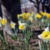 ALLEGRA BOVERMAN/Staff photo. Gloucester Daily Times. Rockport: The Rockport Garden Club's Daffodil Project is already blooming around Rockport. The club's members are currently fertilizing the flowers at the 15 sites around town because the bulbs bloomed so early that they didn't fully ripen, according to Peggy Coonley, the chair of the Daffodil Project, which is now in its third year, and second year of the bulbs' blooming. Each spot around town contains five kinds of daffodils. The group has a grant to plant the bulbs and they are planting between 2,500-3,000 per year. They also sell bulbs and are seeing more daffodils popping up in yards around Rockport, too. To join the Rockport Garden Club, now in its 84th year, call Coonley at 978-546-2180.