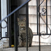 ALLEGRA BOVERMAN/Staff photographer. Gloucester Daily Times. Gloucester: A cat waits to be let inside a home on Veterans Way on Monday afternoon.