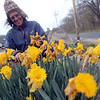 ALLEGRA BOVERMAN/Staff photo. Gloucester Daily Times. Gloucester: Mary Mintz, a fine organic gardener of Rockport deadheads daffodils and does other gardening work at one of her clients, Sears in Gloucester, on Wednesday afternoon. She specializes in organic gardening, landscaping and cultivating and growing native plants.
