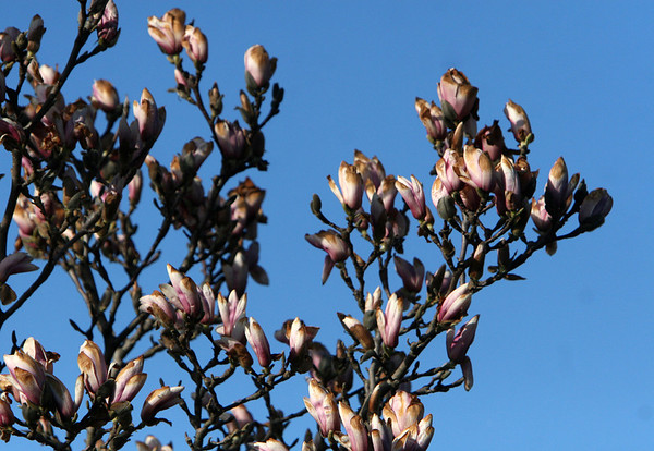 ALLEGRA BOVERMAN/Staff photo. Gloucester Daily Times. Rockport: Magnolia buds are about to pop open along Broadway in Rockport on Monday afternoon.