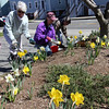ALLEGRA BOVERMAN/Staff photo. Gloucester Daily Times. Rockport: The Rockport Garden Club's Daffodil Project is already blooming around Rockport. The club's members are currently fertilizing the flowers at the 15 sites around town because the bulbs bloomed so early that they didn't fully ripen, according to Peggy Coonley, the chair of the Daffodil Project, which is now in its third year, and second year of the bulbs' blooming. Each spot around town contains five kinds of daffodils. The group has a grant to plant the bulbs and they are planting between 2,500-3,000 per year. They also sell bulbs and are seeing more daffodils popping up in yards around Rockport, too. To join the Rockport Garden Club, now in its 84th year, call Coonley at 978-546-2180. From left are Coonley, Peggy Picard, Chris Doyle and Sonja Anciello, fertilizing daffodils at the Rockport Library Garden on Thursday.