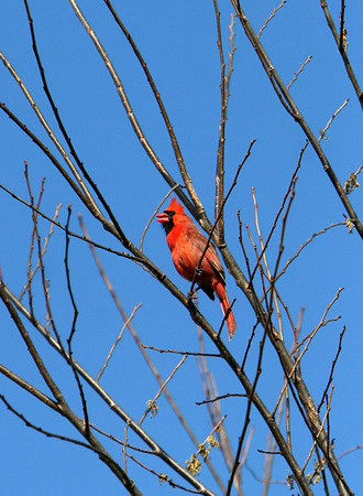 ALLEGRA BOVERMAN/Staff photo. Gloucester Daily Times. Rockport: A cardinal performs a range of vocalizations in a tree at the Rockport Post Office on Monday afternoon.