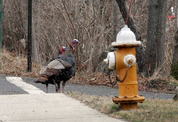 Rockport: Two turkeys cross Driftwood Road during a brief rain shower. Photo by Kate Glass/Gloucester Daily Times