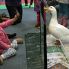 "Gloucester: Ava Mierz, 2 1/2, shows a bird feather to a Pekin duck during Audubon Ark's ""Farm Friends"" program at the Sawyer Free Library yesterday morning. Children got to see a live duck and rabbit while learning about farm animals. Photo by Kate Glass/Gloucester Daily Times"