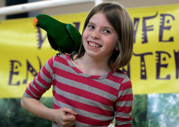 Rockport: McKenna Parker smiles as an eclectus parrot gets comfortable on her shoulder during a Wildlife Encounters program about Australian Wildlife yesterday at Rockport Elementary School. Photo by Kate Glass/Gloucester Daily Times