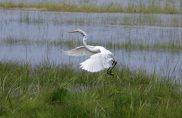 Essex: A Snowy egret makes a landing in the marsh by Conomo Point Friday afternoon.  Mary Muckenhoupt/Gloucester Daily Times