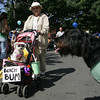 "Gloucester: Jean MacLean pushes her dog Becca down Main Street as Becca checks out Henry, right, owned by Lisa Randall during the dog parade to benefit the Cape Ann Animal Aid Saturday morning.  The environmental theme of the parade was ""All Things Green."" At the end of the parade Becca was awarded Best Beach Buddy and Henry got Best Buddy to the Environment. Mary Muckenhoupt/Gloucester Daily Times"