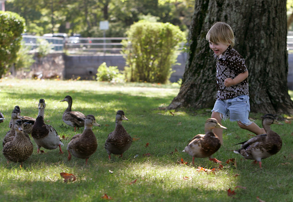 Manchester: Fletcher Wilson, 2, runs amongst the ducks after feeding them some bread by Manchester harbor Saturday morning. Mary Muckenhoupt/Gloucester Daily Times