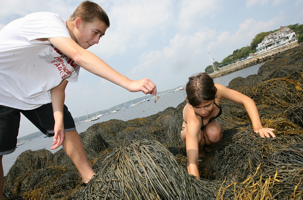 Gloucester: Jonathan Tonthat of Middleton holds a crab near Anna Magill-Dohan of Arlington as they explore a mid tide location near the Eastern Point Lighthouse yesterday afternoon. The kids, who are attending camp at the New England Aquarium, were collecting marine science data. Photo by Kate Glass/Gloucester Daily Times
