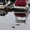 David Le/Gloucester Daily Times. Two ducks float by a few well-covered boats sitting in the Essex River on Thursday afternoon. Boat owners scrambled Thursday to secure their boats as best they could in preparation for the impending hurricane. 8/25/11.