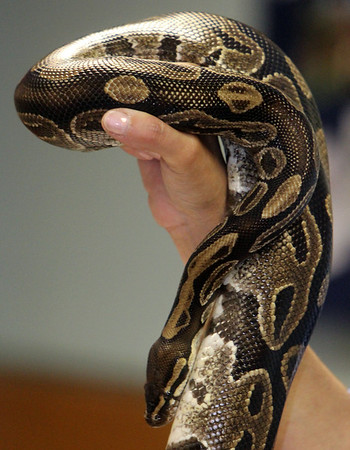 """ALLEGRA BOVERMAN/Gloucester Daily Times A ball python named Lucille was shown as part of a """"Creatures of the Night"""" program at Sawyer Free Library in Gloucester on Wednesday as part of the summer reading program. Mona Headon of Critters 'N Creatures of Merrimack showed various nocturnal animals including a scorpion and its baby, a four-eyed opossum, a fruit bat, a gecko and other animals."""