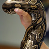 "ALLEGRA BOVERMAN/Gloucester Daily Times A ball python named Lucille was shown as part of a ""Creatures of the Night"" program at Sawyer Free Library in Gloucester on Wednesday as part of the summer reading program. Mona Headon of Critters 'N Creatures of Merrimack showed various nocturnal animals including a scorpion and its baby, a four-eyed opossum, a fruit bat, a gecko and other animals."