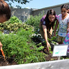 ALLEGRA BOVERMAN/Staff photo. Gloucester Daily Times. Gloucester: From left, harvesting carrots and beets from the garden at The Open Door on Thursday, are: Alyssa Lane, 12, garden manager Grace Cherubino, who is also working in coordination with Food Corps, Thailenny Tejada, 8, and her sister Marlenny Tejada, 4. They and other kids participating in the Summer Lunch program were also harvesting purple and green beans and sunflower seeds.