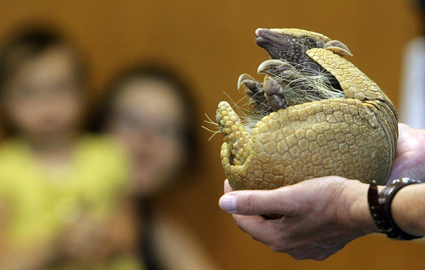 """ALLEGRA BOVERMAN/Gloucester Daily Times A three-banded armadillo named Taco wakes up and stretches as part of a """"Creatures of the Night"""" program at Sawyer Free Library in Gloucester on Wednesday as part of the summer reading program. Mona Headon of Critters 'N Creatures of Merrimack N.H. was displaying a variety of nocturnal animals such as a scorpion, a gecko, a fruit bat, a ball python and other animals."""