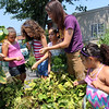 ALLEGRA BOVERMAN/Staff photo. Gloucester Daily Times. Gloucester: From left, learning how to harvest edible sunflower seeds from a sunflower, far left, are: Gabe LaDuke, (behind flower), Alyssa Lane and Yvette Pallazola, all 12, Thailenny Tejada, 8, garden manager Grace Cherubino, who is working with The Open Door through Food Corps, and Marlenny Tejada, 4. They also harvested beets, carrots, purple and green beans, all of which they could eat and take home.