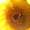 130802_GT_ABO_SUNFLOWERS_2