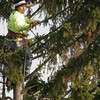 "Manchester: Antonio Mendez of R.P. Lations Tree Service climbs Manchester's 90-foot ""Friendship Tree"" to decorate it in preparation for the tree lighting ceremony, which will be held on Sunday at 4:30. The work is paid for by the Manchester Women's Club. Photo by Kate Glass/Gloucester Daily Times Wednesday, December 2, 2009"