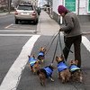 ALLEGRA BOVERMAN/Staff photo. Gloucester Daily Times. Gloucester: Sofia Montoya of Rockport walks five dogs belonging to other people, and one belonging to her boss on Tuesday afternoon in downtown Rockport.
