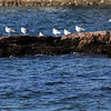 ALLEGRA BOVERMAN/Staff photo. Gloucester Daily Times. Gloucester: Gulls sit in a row facing the sun at Flat Cove Landing on East Main Street in Gloucester on Thursday afternoon.