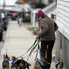 ALLEGRA BOVERMAN/Staff photo. Gloucester Daily Times. Gloucester: Sofia Montoya of Rockport walks five dogs belonging to other people, one belonging to her boss, on Tuesday afternoon in downtown Rockport.