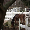 ALLEGRA BOVERMAN/Staff photo. Gloucester Daily Times. Rockport: A horse munches on hay at the Sandy Bay Stables in Rockport on Tuesday.