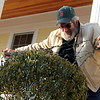 Allegra Boverman/Gloucester Daily Times. Peter Reis of  Gloucester puts lights on the shrubs in front of his home on Friday afternoon in preparation for the upcoming holidays.