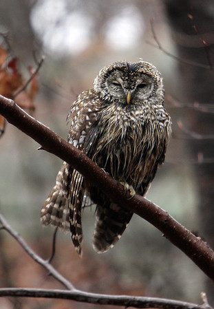 Allegra Boverman/Gloucester Daily Times. A wet and slightly bedraggled barred owl sits on a low branch, keeping an eye out for prey, along Old Neck Road in Manchester on Thursday afternoon during the rainstorm.