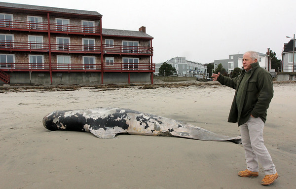 Allegra Boverman/Gloucester Daily Times. Brad Pierce, innkeeper of Cape Ann Motor Inn in Gloucester, talks about the pilot whale that now washed up on his part of Long Beach.