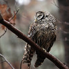 Allegra Boverman/Gloucester Daily Times. A wet and slightly bedraggled barred owl sits on a low branch keeping an eye out for prey along Old Neck Road in Manchester on Thursday afternoon during the rainstorm.